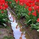 Tulip river by Hiroshi  Maeshiro