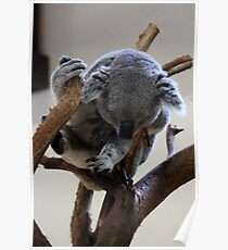 Koala-Riverbanks Zoo Poster