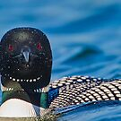 Loon Stare by Daniel  Parent