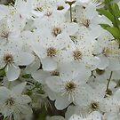Chery tree in blossom by Nina Zabrodina
