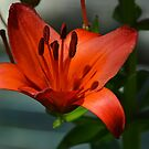 Red Lilly by Imagery