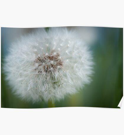 Macro Of A Dandelion Seed Head Poster