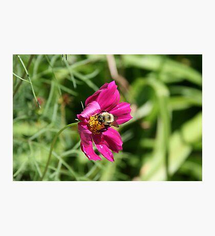 "Bumble Bee 2 ""lunch break"" Photographic Print"