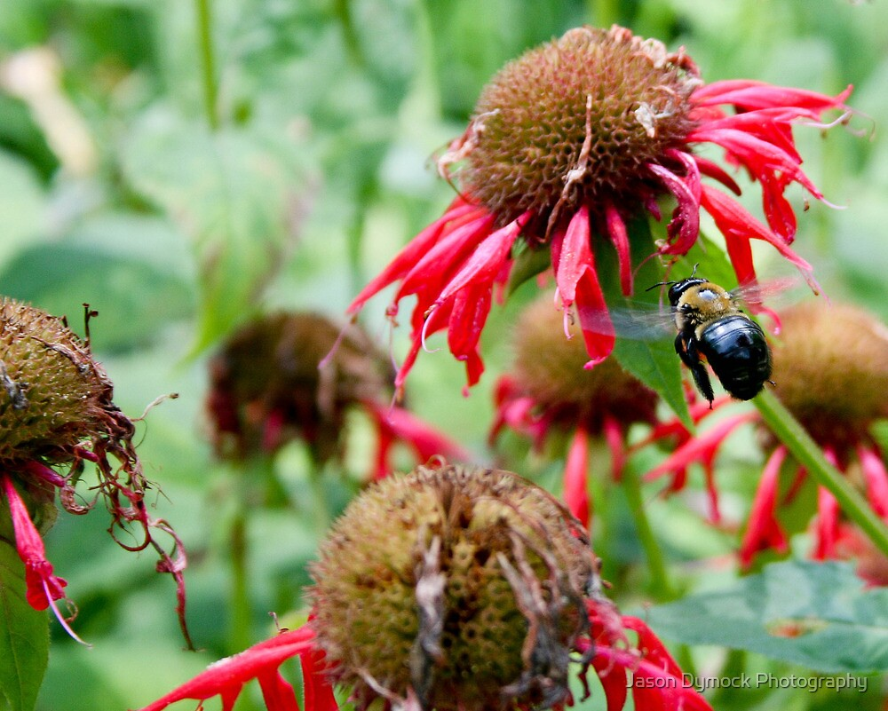 """Bumble Bee 3 """"slim pickings"""" by Jason Dymock Photography"""