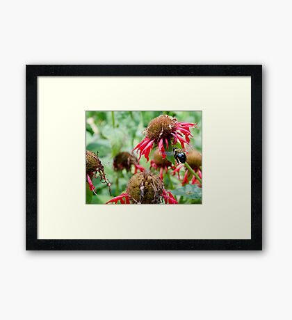 "Bumble Bee 3 ""slim pickings"" Framed Print"