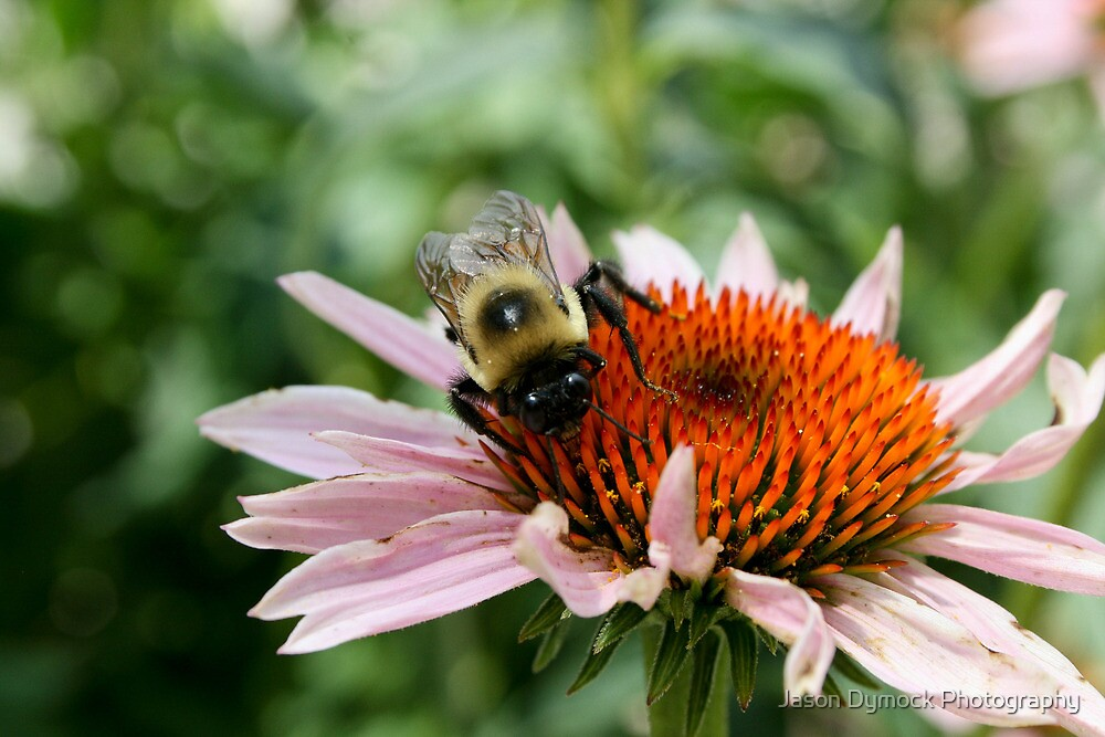 """Bumble Bee 5 """"here's lookin at you"""" by Jason Dymock Photography"""