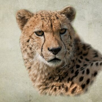 Cheetah (Acinonyx jubatus) by Foxfire