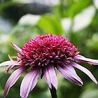 Double Coneflower by Alyce Taylor