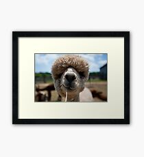 An Island Alpaca - Martha's Vineyard Framed Print