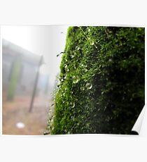 Rain drops on moss Poster