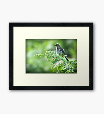 Fledgling Meadow Pipit. Framed Print