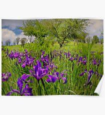 Wild Iris ~ Finley Refuge ~ Poster