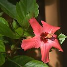 Early Morning Hibiscus by glennc70000