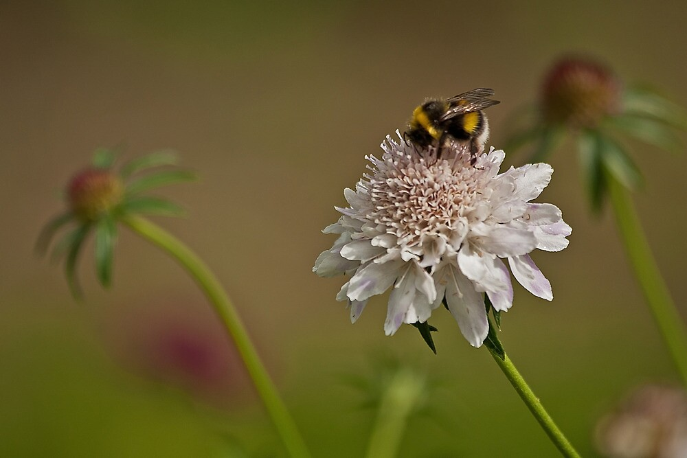 Bee on white flower by Esther  Moliné