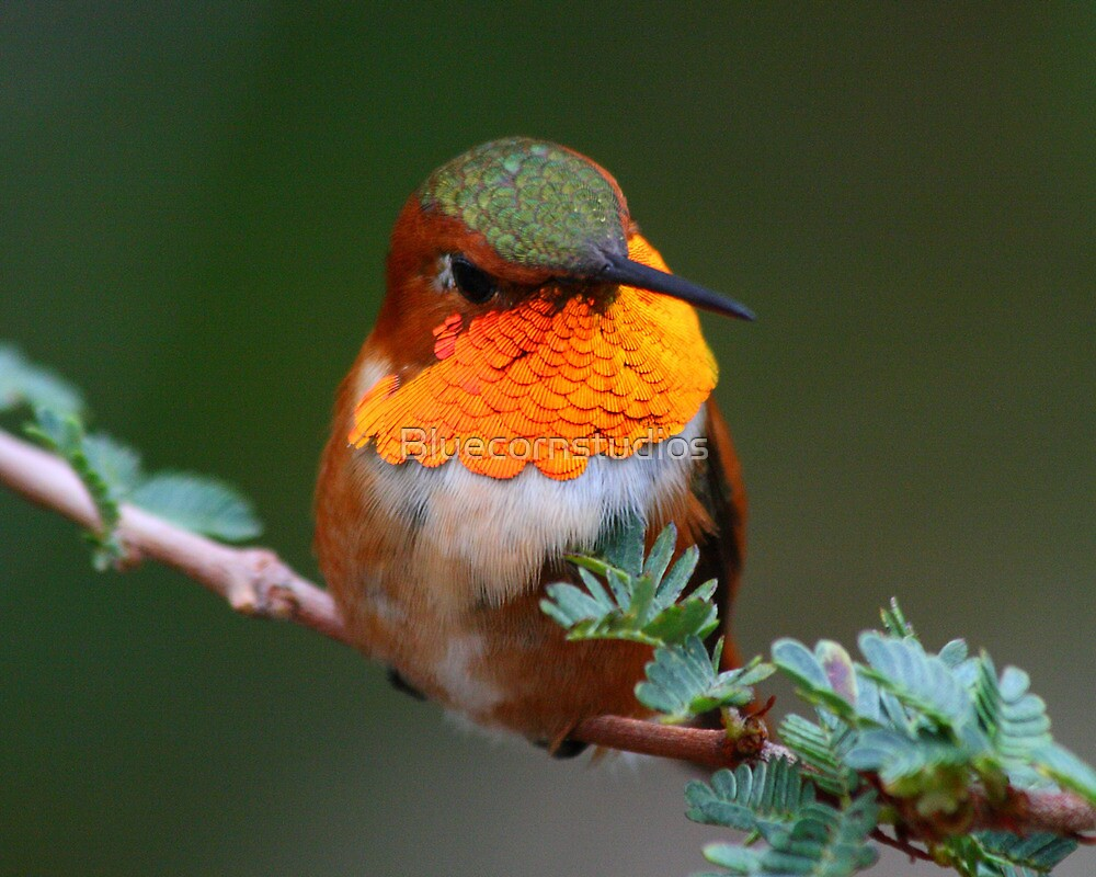 Male Rufous hummingbird enjoying a morning after a thunderstorm... by Bluecornstudios