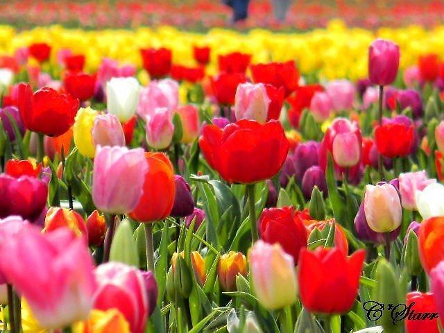 Feild of Tulips by Courtneystarr
