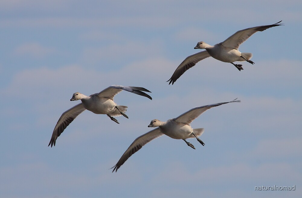 Snow Geese Trio by naturalnomad