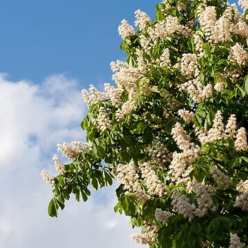tree of blooming Aesculus by ArlettaCwalina