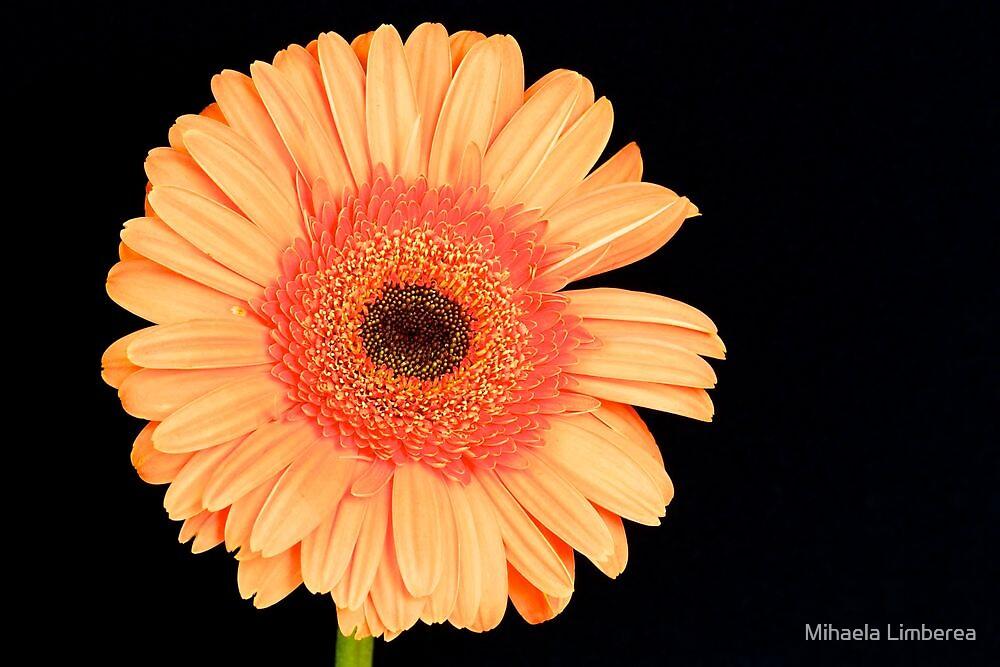 Orange Gerbera by Mihaela Limberea