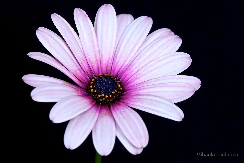 Pink Anemone Hortensis by Mihaela Limberea