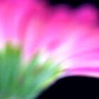 Pink Gerbera III by Mihaela Limberea