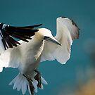 Gannet Landing #2 by Chris West