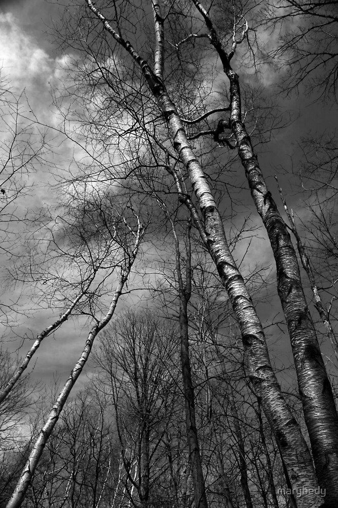 Birches Leaning BW by marybedy