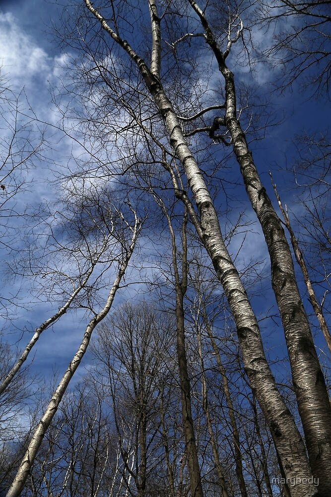 Birches Leaning by marybedy