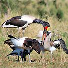 ONE, ONE PLEASE !- The Saddle SADDLE-BILLED STORK - Ephippiorhynchus senegalesis by Magriet Meintjes
