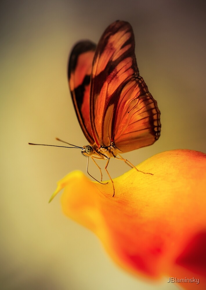 Orange butterfly on yellow and red flower by JBlaminsky