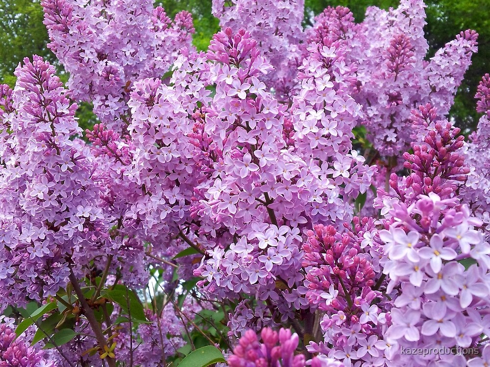 Lilacs, lilacs and more lilacs! by kazeproductions