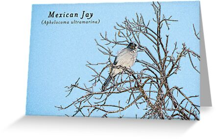 Mexican Jay by backinajpg