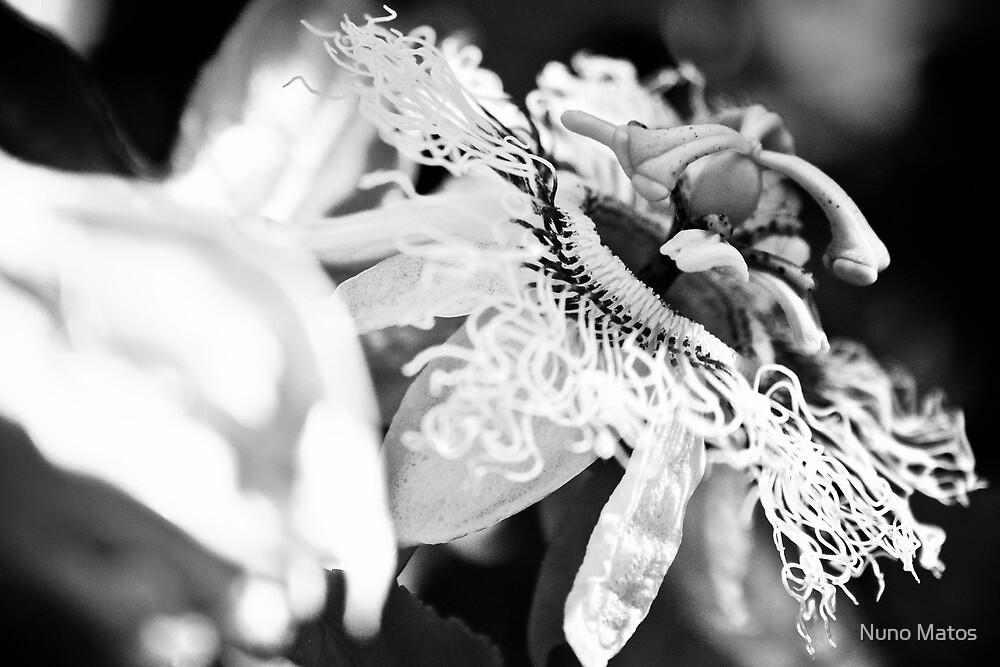 Passion fruit flower by Nuno Matos