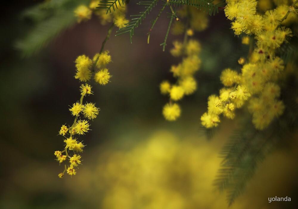 Spring Wattle by yolanda