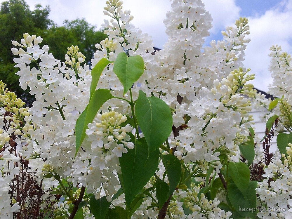 Stunning white lilacs by kazeproductions