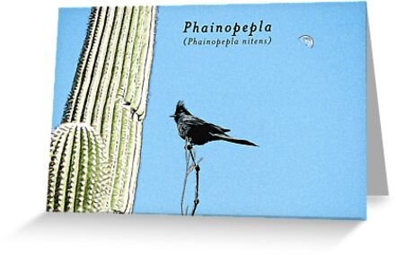 Phainopepla by backinajpg