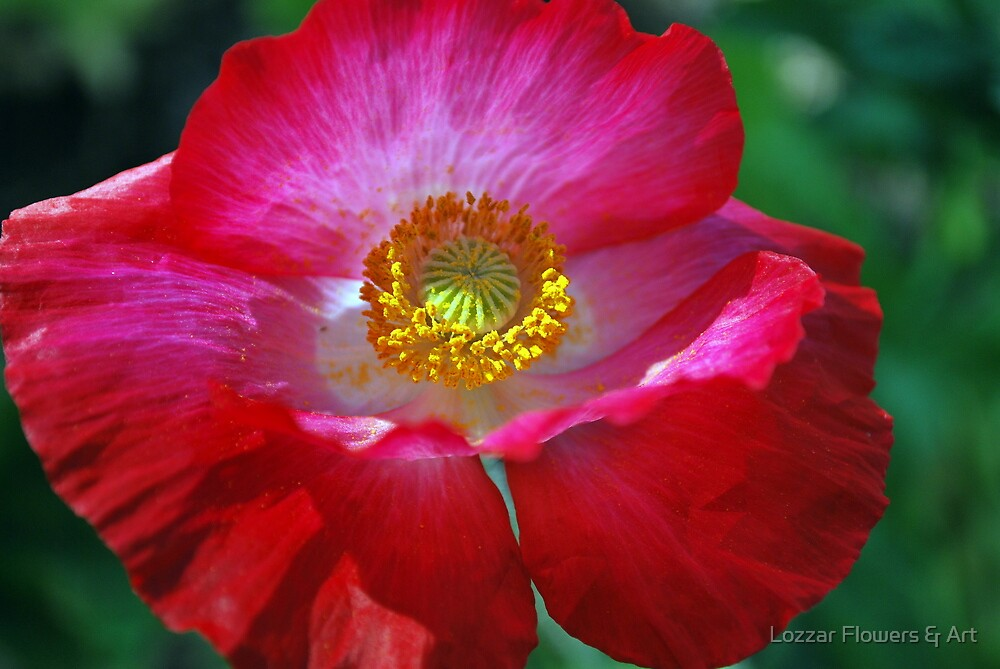 Poppies are Joyous! by Lozzar Flowers & Art