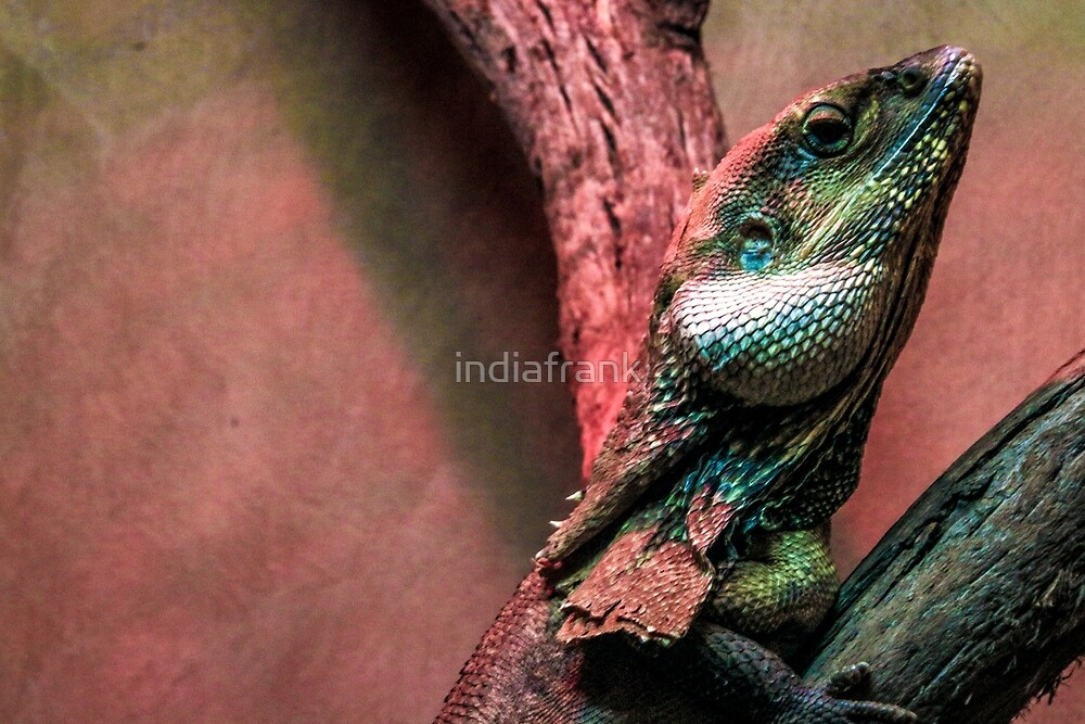 Frill neck lizard by indiafrank