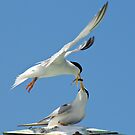 Least Terns Feeding by thatche2