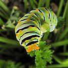 Warning - Black Swallowtail Caterpillar in Parsley Patch by aprilann