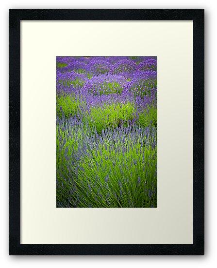 Lavender Study by Inge Johnsson