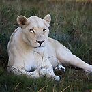The white lioness by Gavin Craig