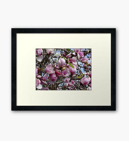 Magnolia Soulangeana - San Jose Framed Print