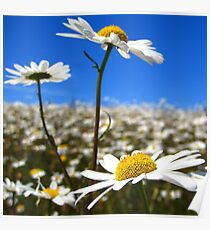 Depth of a Daisy Field Poster