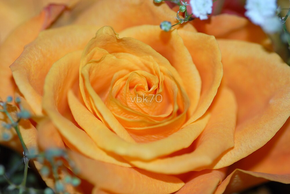 Orange Rose by vbk70