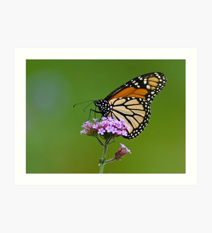 Monarch Butterfly on an August Afternoon Art Print
