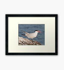 The Panting Adult Caspian Tern Framed Print