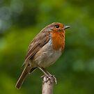 Robin by frank66