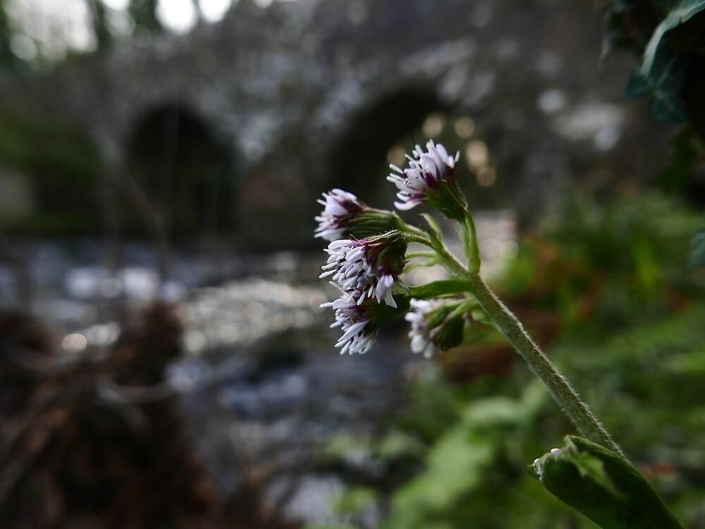 Winter Heliotrope (Petasites fragrans) by IOMWildFlowers