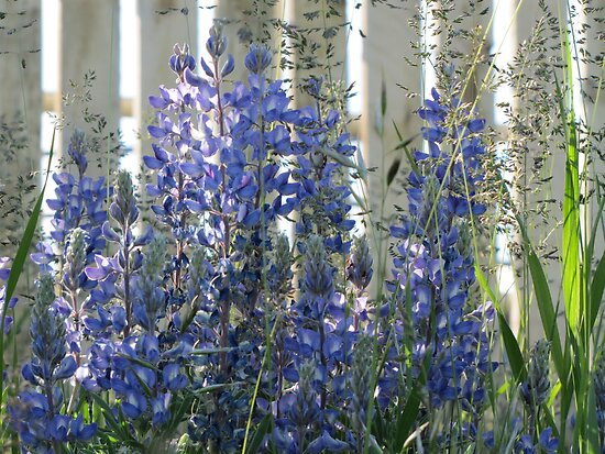 Sunlit Lupins by Kathi Huff